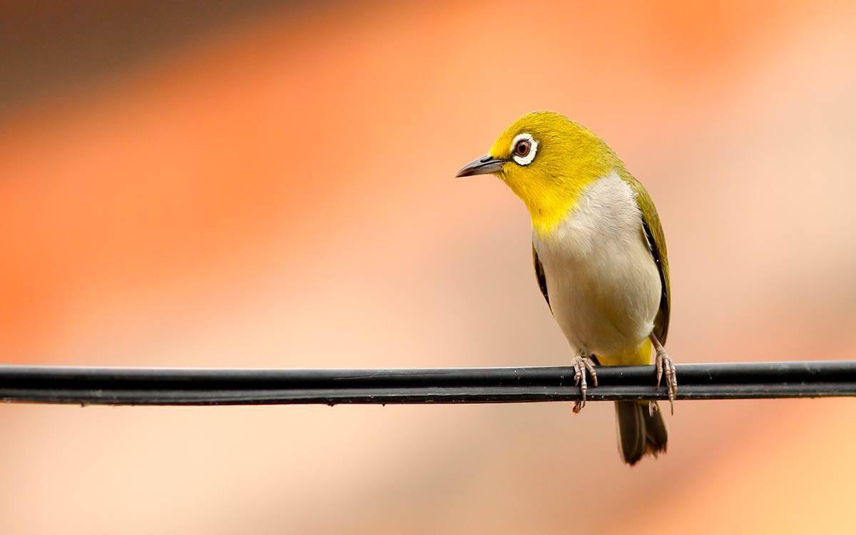 Pássaro nativo de Paraty